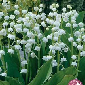 Convallaria Lily of the Valley Pre-Packed Perennials 5 Per Pack