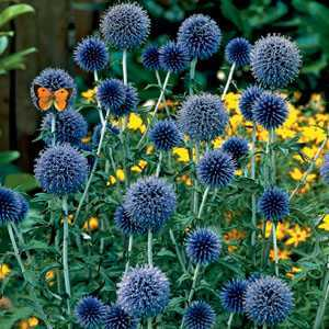 Echinops Veitch Blue Globe Thistle Pre-Packed Perennial 1 Per Pack