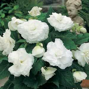 Begonia Double White Bulbs 3 Per Pack