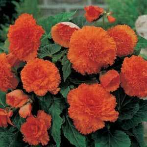 Begonia Fimbriata (Fringed) Orange Bulbs 3 Per Pack