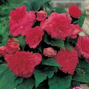 Begonia Fimbriata (Fringed) Pink Bulbs 3 Per Pack