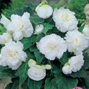 Begonia Fimbriata (Fringed) White Bulbs 3 Per Pack