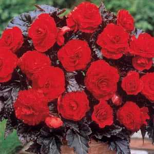 Begonia Multiflora Maxima Switzerland Bulbs 3 Per Pack