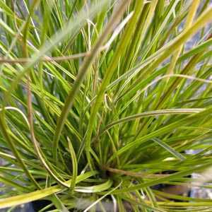 Carex Testacea Prairie Fire (Indian Summer)