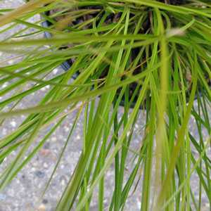 Carex Testacea Ornamental Grass