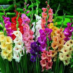 Gladioli (Gladiolus) Giant Flowering Bulbs Mixed 10 Per Pack