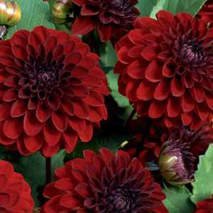 Dahlia Ball Bulbs Night Queen 1 Per Pack