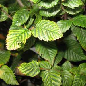 Carpinus Betulus (Hornbeam) Hedging 80-100cm 3ltr