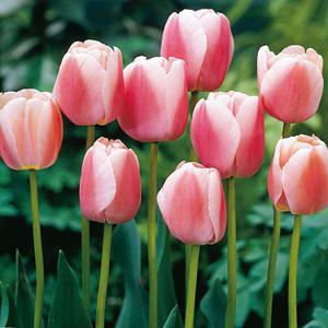 Tulip Bulbs Darwin Hybrid Ollioules 10 Per Pack