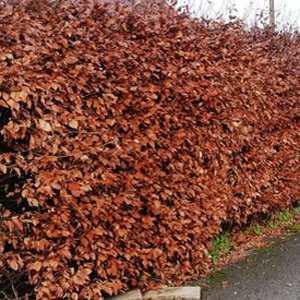 Copper Beech Hedging (Fagus Sylvatica Purpurea) 80-100cm 3ltr