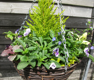 Planted Mixed Spring Hanging Wicker Basket 12 inch