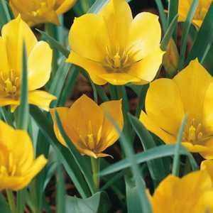 Tulip Bulbs Species Bataliniii Bright Gem 10 Per Pack
