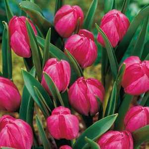 Tulip Bulbs Species Humilis Violacea 10 Per Pack