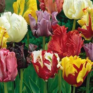 Tulip Bulbs Parrot Mixed 10 Per Pack