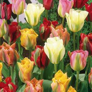 Tulip Bulbs Viridiflora Mixed 10 Per Pack