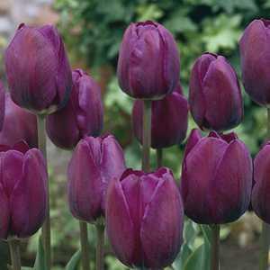 Tulip Bulbs Triumph Negrita 10 Per Pack