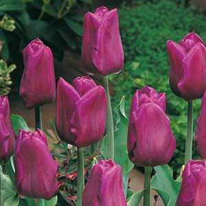 Tulip Bulbs Triumph Passionale 10 Per Pack