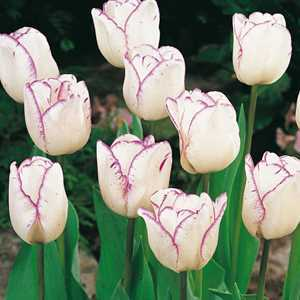 Tulip Bulbs Triumph Shirley 10 Per Pack