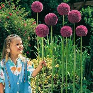 Allium Bulb Giganteum 1 Per Pack