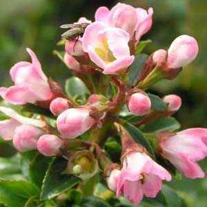 Escallonia Apple Blossom