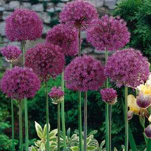 Allium Bulbs Aflatunense Purple Sensation 5 Per Pack