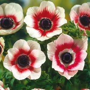 Anemone Bulbs Coronaria Bicolor 20 Per Pack