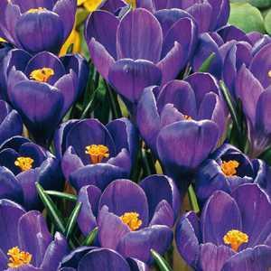 Crocus Bulbs Vernus Purple 50 Per Pack