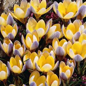 Crocus Bulbs Species Chrysanthus Advance 20 Per Pack
