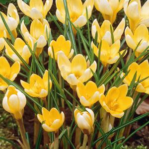 Crocus Bulbs Species Chrysanthus Romance 20 Per Pack