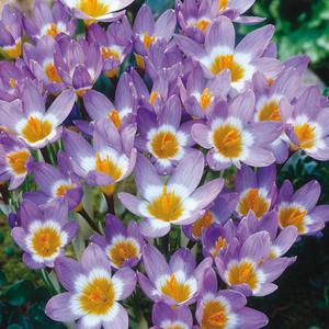 Crocus Bulbs Species Sieberi Tricolor 15 Per Pack