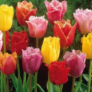 Tulip Bulbs Fringed Mixed Colours 10 Per Pack