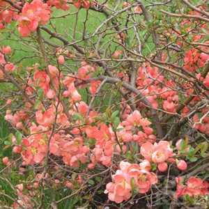 Chaenomeles Superba Salmon Horizon (Flowering Quince)