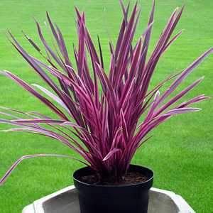 Cordyline Australis Pink Passion (Cabbage Tree)