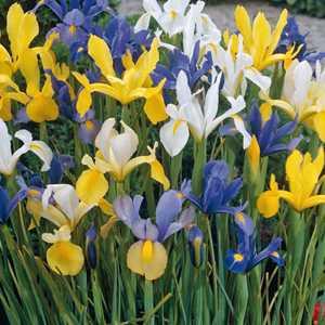 Iris Dutch Iris Bulbs Mixed Colours 20 Per Pack