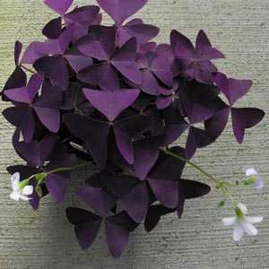 Oxalis Triangularis (Purple Shamrock) Bulbs 1000 Bulbs Supplied Loose