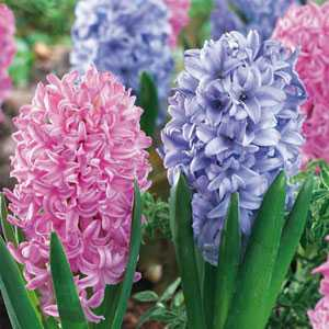 Hyacinth Bedding Bulbs Spring Delight Mixed Pink and Blue 8 Per Pack