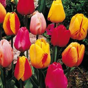Tulip Bulbs Darwin Hybrid Mixed Colours 25 Per Pack