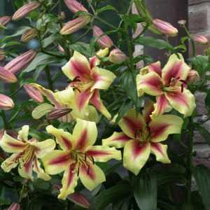 Lilium OT Hybrid (Lily) Tower Lilies Lavon Bulbs 3 Per Pack