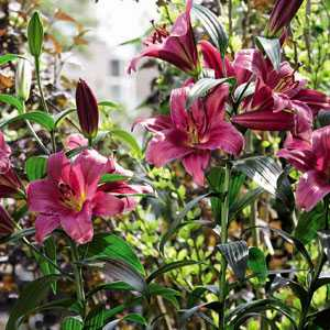 Lilium OT Hybrid (Lily) Tower Lilies Purple Prince Bulbs 3 Per Pack