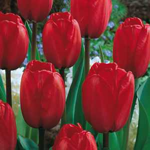 Tulip Bulbs Darwin Hybrid Red 25 Per Pack