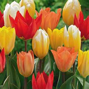 Tulip Bulbs Fosteriana Mixed Colours 25 Per Pack