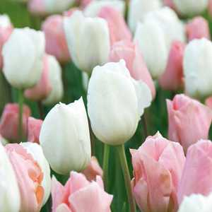 Tulip Bulbs Fosteriana Soft Secret Pink and White 25 Per Pack