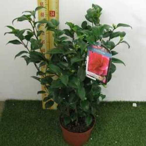 Camellia Japonica 'Mary Williams'