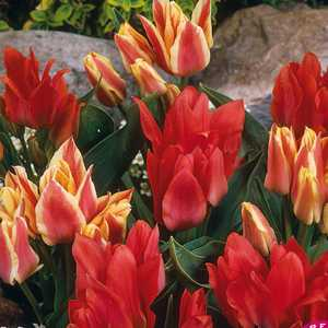 Tulip Bulbs Multiheaded Three of A Kind 25 Per Pack