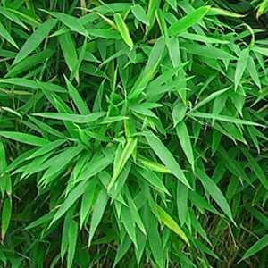 Fargesia Murielae 'Heilong' Bamboo