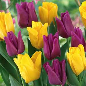 Tulip Bulbs Triumph Garden Friends 25 Per Pack
