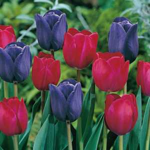 Tulip Bulbs Triumph Mistress Of Dark 25 Per Pack