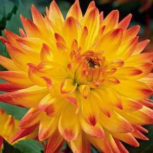 Dahlia Cactus Bulbs Aloha 1 Per Pack