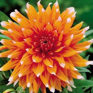 Dahlia Cactus Bulbs Color Spectacle 1 Per Pack