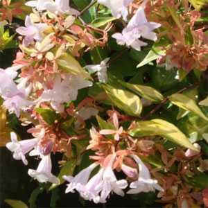 Abelia Grandiflora 'Francis Mason'